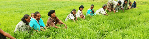 Ethiopian women working in field