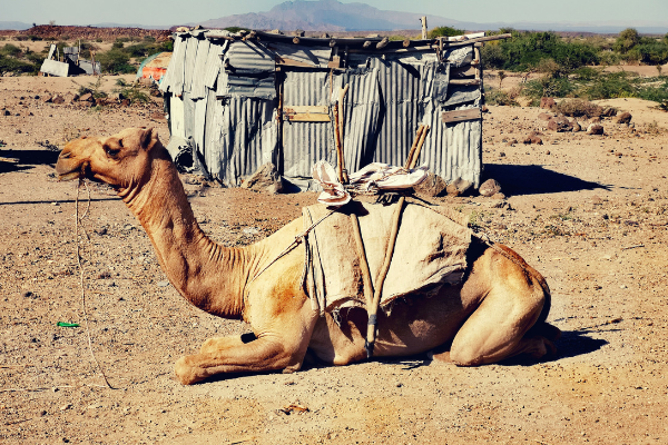 Camel used for transport in Afar